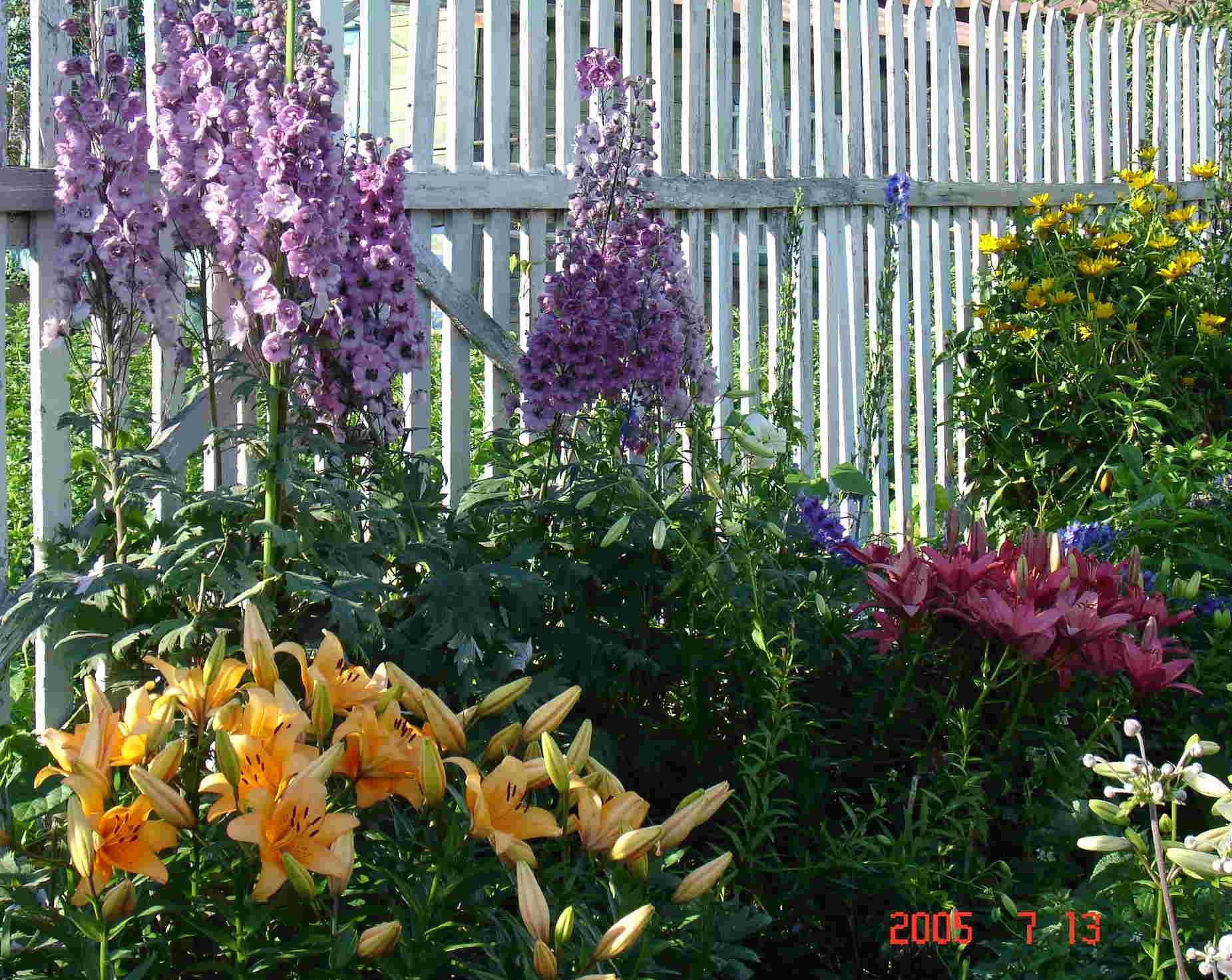 Садовые цветы дельфиниум: фото, описание, посадка, уход в 16